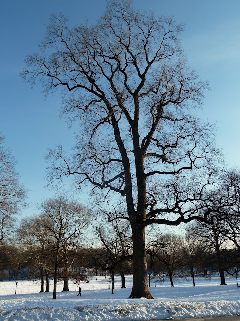 Winter Silhouette Tulip Tree, Prospect Park, Brooklyn