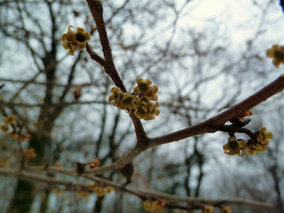 Yellow Witchhazel flower remains in winter