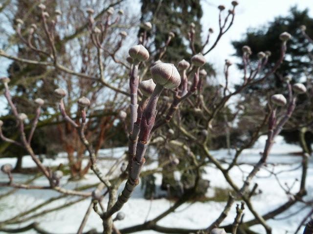 Dogwood buds in winter, New York Botanical Garden