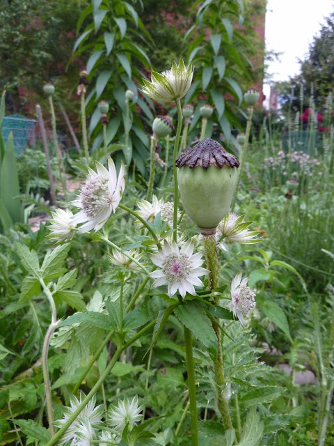 Astrantia major and poppy seedhead, 615 Green, Brooklyn NY