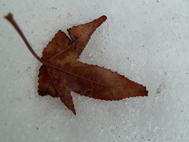 Sweetgum leaf in snow