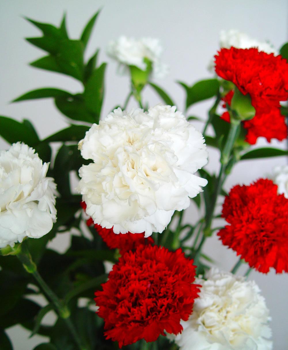 Chistes de abogados claveles for Plantas ornamentales clavel