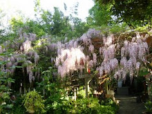THE WISTERIA UP CLOSE
