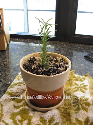 rosemary propagation from www.daniellecopeland.com