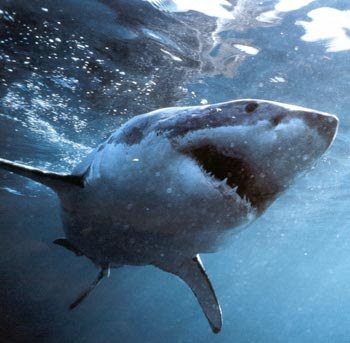 shark small 10 Hewan Paling Berbahaya di Dunia