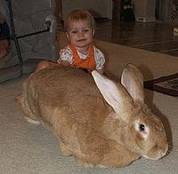 flemish giant rabbit rescue