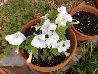 petúnias (Petunia)