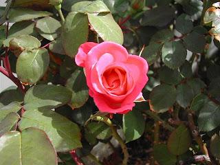 rose_20032009