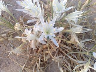 narciso-das-areias