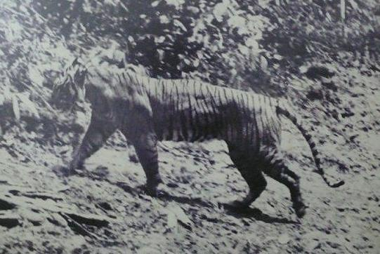 foto harimau jawa - gambar hewan - foto harimau jawa