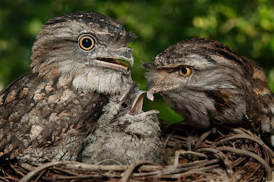 SeaWorld Tawny Frogmouth Baby