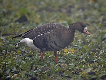 White-fronted Goose by Dave Hutton