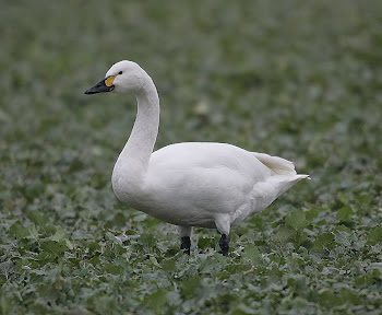 Bewick&#39;s Swan by Dave Hutton