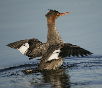 Red-breasted Merganser by Dave Hutton