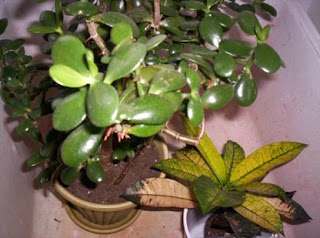 houseplant care tips jade plant care. Black Bedroom Furniture Sets. Home Design Ideas