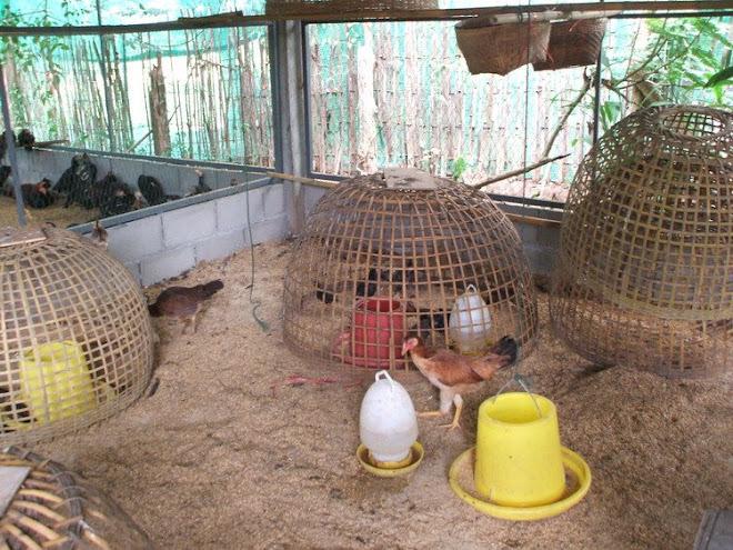 โรงอนุบาลลูกไก่
