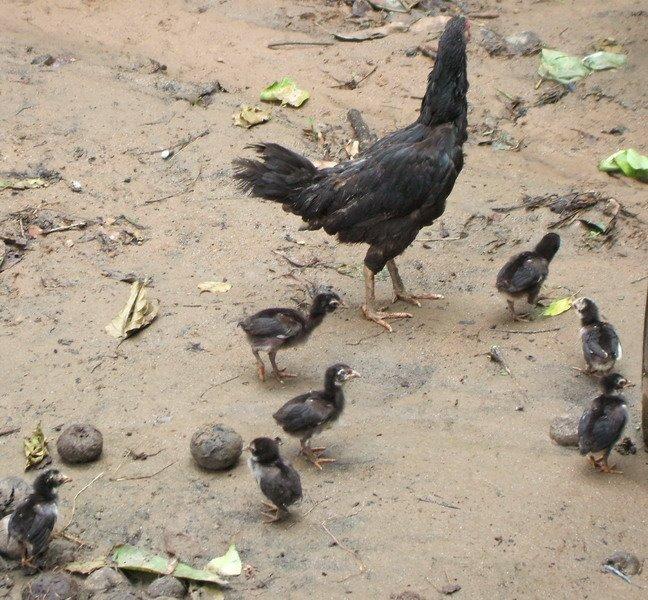 แม่ไก่เลี้ยงแบบธรรมชาติ