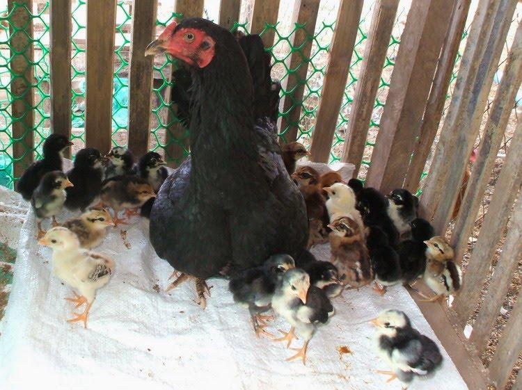 แม่ไก่แสนดี รับเลี้ยงลูกเกือบ40ตัว