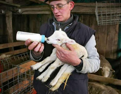 Belgian grower Maurice Peeters feeds a six-leg lamb a day after its birth.Photo: AFP