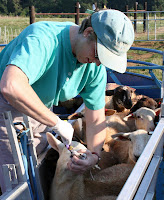 drenching a lamb