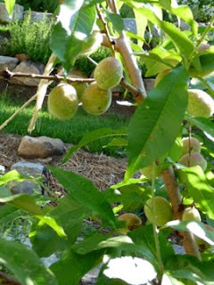 2009 peach tree