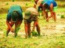 [artwork.planting+rice+study]