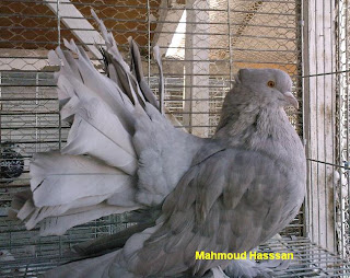 Fan tail pigeons for sale american fantails
