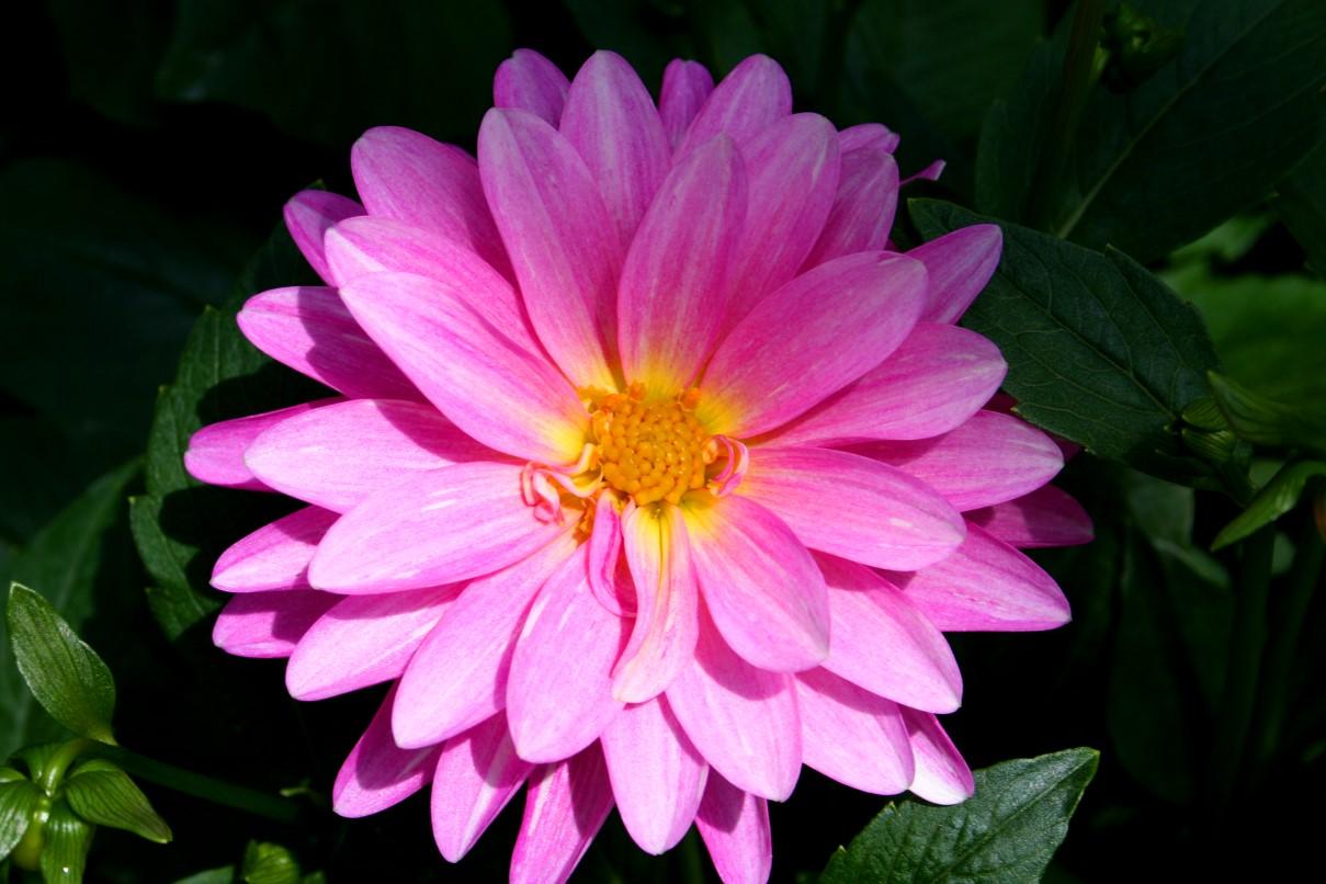 http://4.bp.blogspot.com/_qSZ6cgWqWro/TITsSXK4fjI/AAAAAAAAAbQ/5GTdrz-DUNM/s1600/Beautiful-pink-flower.JPG