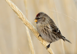 Common Redpoll, lots around this winter