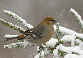 Female Pine Grosbeak, at many country feeders