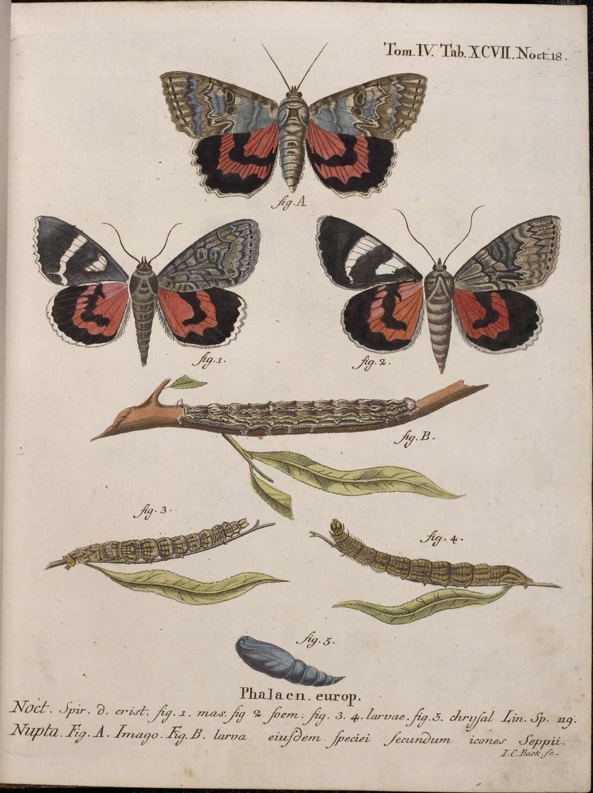 hand-coloured 18th century engravings of moths