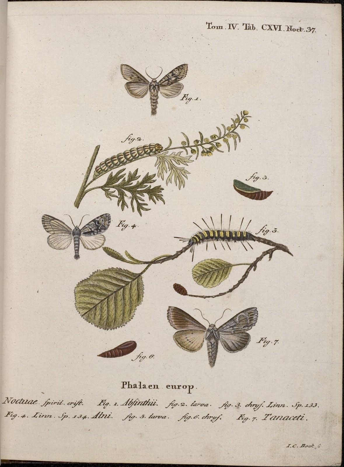 Die Schmetterlinge by EJC Esper, 1786 - Tanaceti
