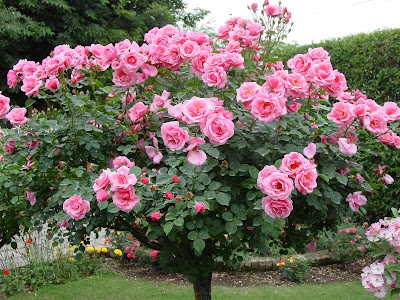 ���� ������2013,��� ���� ����� ������ pakistani_rose_garde