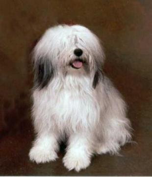 Polish Lowland Sheepdog Dog Breeds