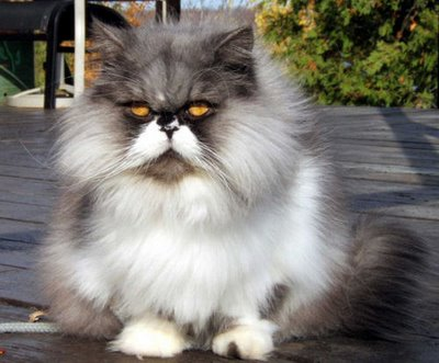 Some Persian cats may have overly stenotic nares (small