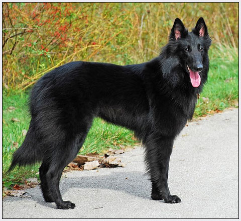 african animals of belgian groenendael dog habitat