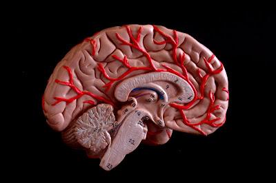 ilustración de un corte de encéfalo