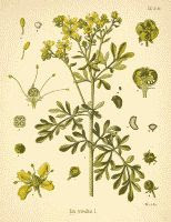 Rue aka Ruta graveolens color vintage botanical illustration