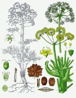 asafetida or asafoetida (Ferula assafoetida) color botanical drawing