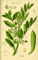 Vicia faba aka Fava bean plant antique color botanical drawing