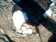 Bald Eagle Nest Cam