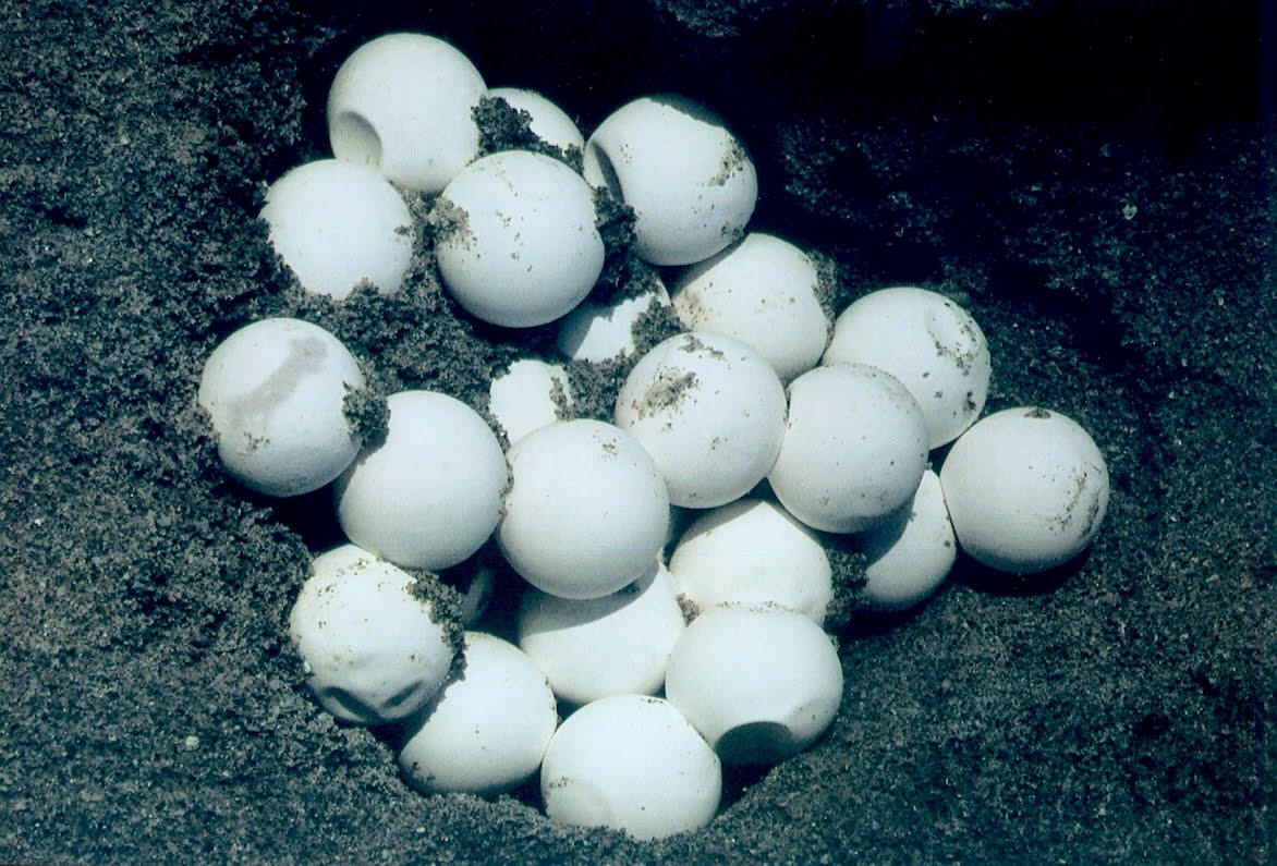 Sea turtle eggs in a nest is one of jim angy s the eggs are about the