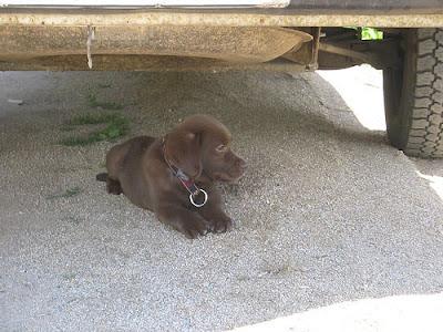 Mini-Labrador-Welpe.jpg