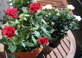 miniature mother's day roses red and white