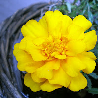 flower yellow marigold tagetes