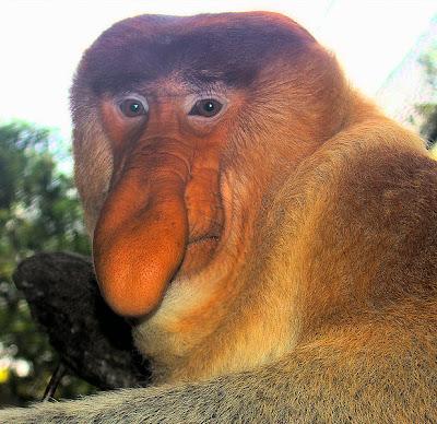 http://4.bp.blogspot.com/_qgDh0CvuSMg/SfscKxk_syI/AAAAAAAABiY/hbl8xWL5aGQ/s400/proboscis+monkey+2.jpg