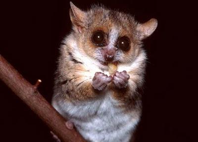 lémur raton pardo