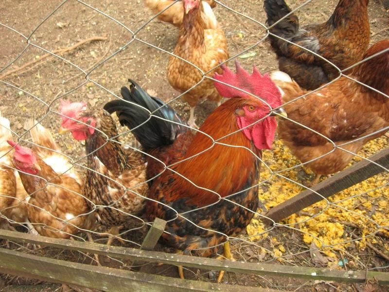 Artesanal los gatos el gallinero en casa - Casas para gallinas ...