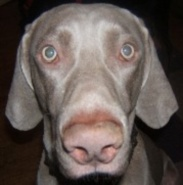 The KRAZY Harvy Weimaraner