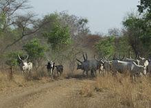 road cows